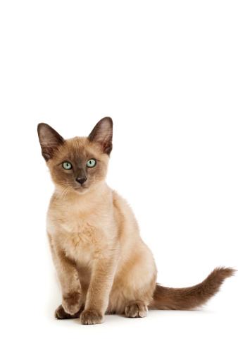 子猫「Tonkinese cat」:スマホ壁紙(1)