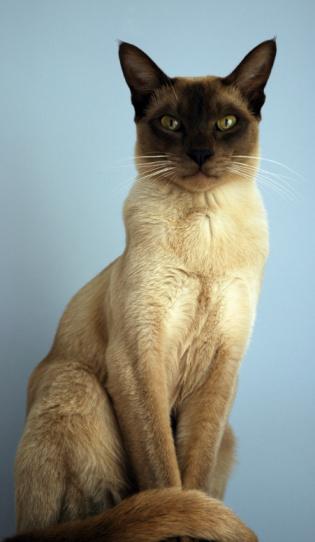 シャムネコ「トンキニーズ猫」:スマホ壁紙(5)