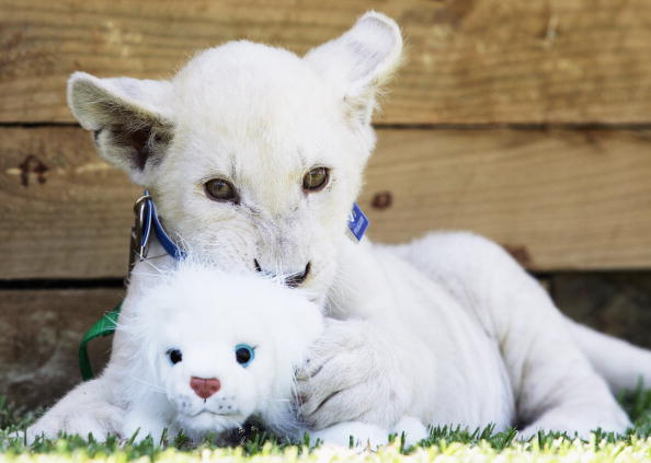 Lion Cub「Rare White Lion Cubs Photo Call In Sydney」:写真・画像(14)[壁紙.com]