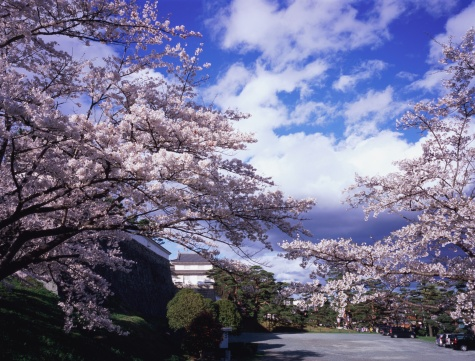 桜「Kasumigajo Park, Fukushima Prefecture, Japan」:スマホ壁紙(8)