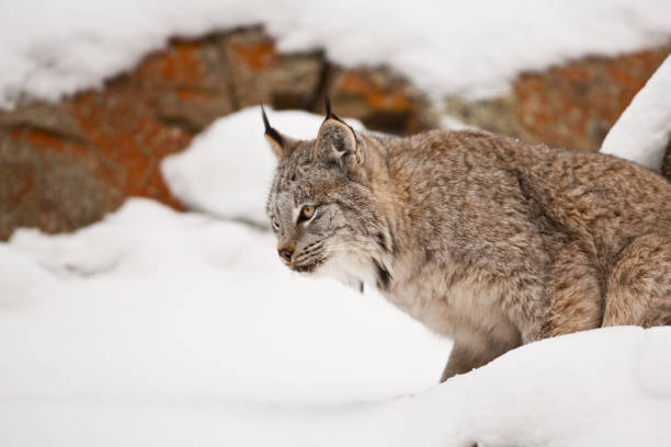 Adult Canadian lynx is getting ready to jump.:スマホ壁紙(壁紙.com)