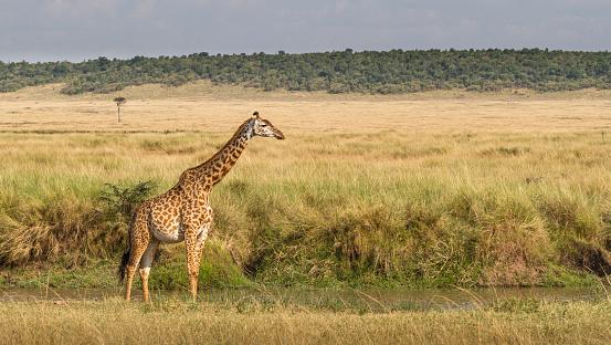 キリン「Giraffe sanding in the bush, Masai Mara National Park, Narok, Kenya」:スマホ壁紙(5)