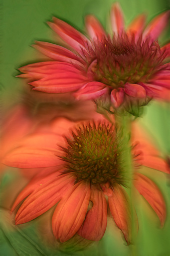 Multiple Exposure「Echinacea 'Tomato Soup' Flowers」:スマホ壁紙(13)