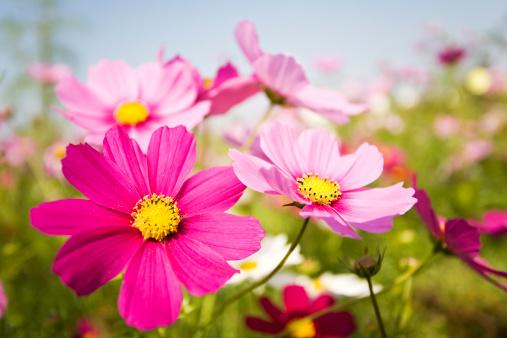 コスモス「カラフルな花」:スマホ壁紙(1)