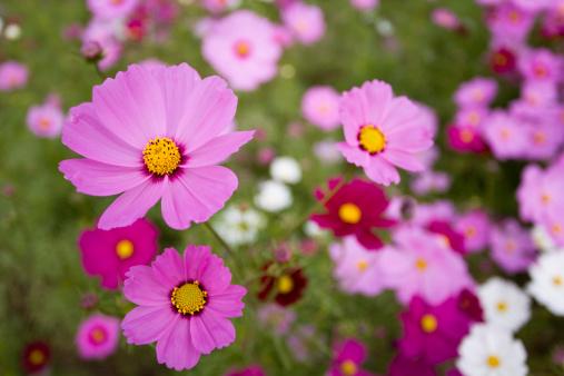 コスモス「カラフルな花」:スマホ壁紙(16)
