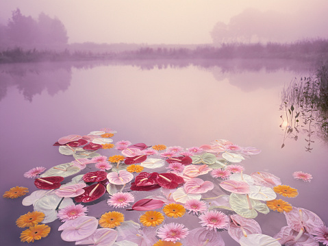 North Brabant「Colorful flowers floating in lake at misty dawn」:スマホ壁紙(1)