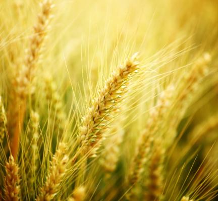 Oats - Food「Wheat in a field,closeup.」:スマホ壁紙(8)
