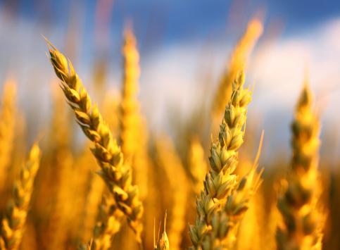 Oats - Food「Wheat in a field,closeup.」:スマホ壁紙(13)