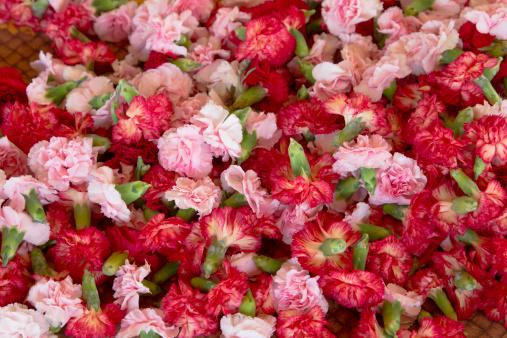 カーネーション「Fresh carnation flower heads」:スマホ壁紙(6)