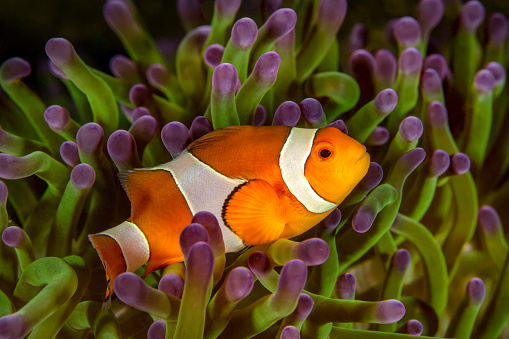 カクレクマノミ「Bali, Ocellaris Clownfish in sea anemone」:スマホ壁紙(5)