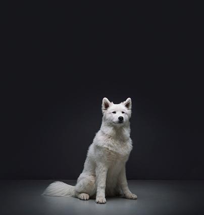 Pets「Samoyed sitting against black background」:スマホ壁紙(11)