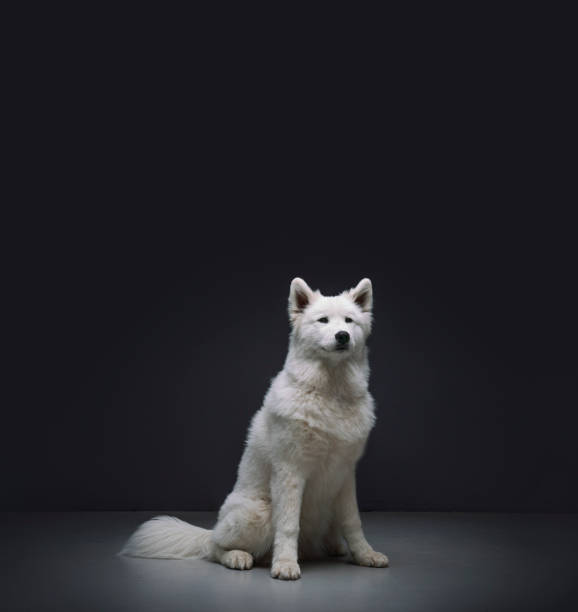 Samoyed sitting against black background:スマホ壁紙(壁紙.com)