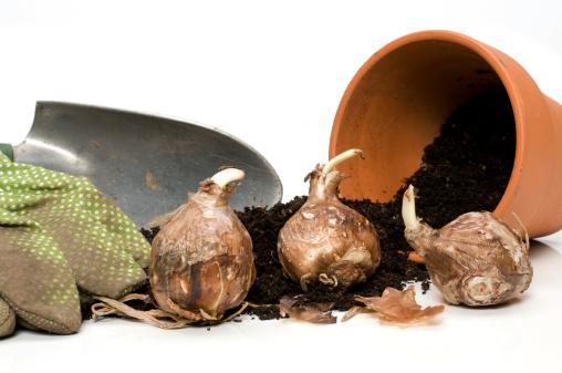 Plant Bulb「bulbs-ready to plant」:スマホ壁紙(9)