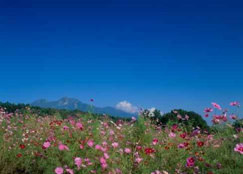 コスモス「Cosmos of Kurohime Highland, Shinano, Kamiminochi, Nagano, Japan」:スマホ壁紙(6)