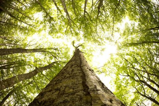 オーク林「森の春」:スマホ壁紙(5)