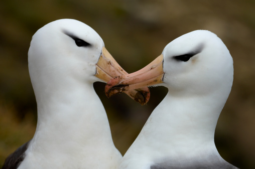 Albatross「Two black-browed albatrosses (Diomedea melanophris) with mud on beaks」:スマホ壁紙(18)