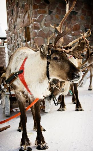 Finland「Reindeer wearing red harness in snow」:スマホ壁紙(5)