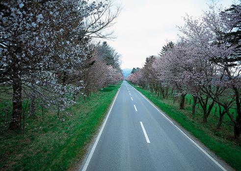 Cherry Blossom Festival「Row of Cherry Tree」:スマホ壁紙(19)