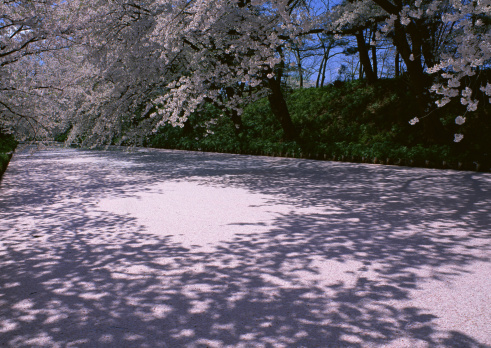 Cherry Blossoms「Row of Cherry Tree」:スマホ壁紙(11)