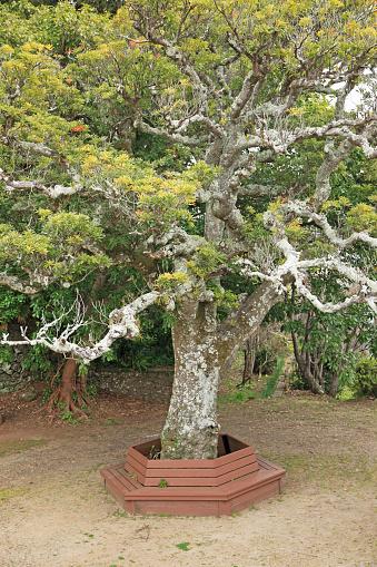 Japan「Old tree at Sakigata Park, Hirado, Nagasaki, Japan」:スマホ壁紙(13)