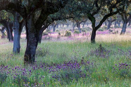 French Lavender「Cork Oak Dehesa with French Lavender」:スマホ壁紙(15)