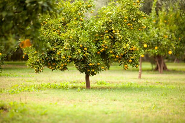 Fruit tree in rural field:スマホ壁紙(壁紙.com)
