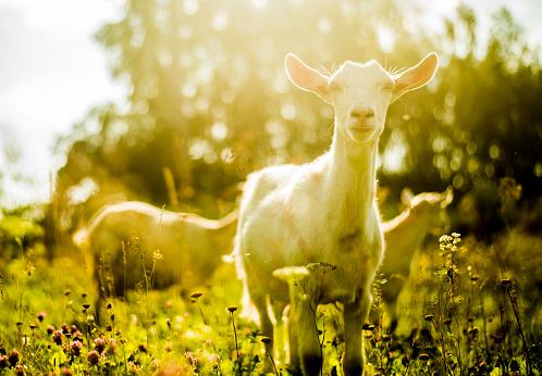 Goat「Goats grazing in rural field」:スマホ壁紙(18)