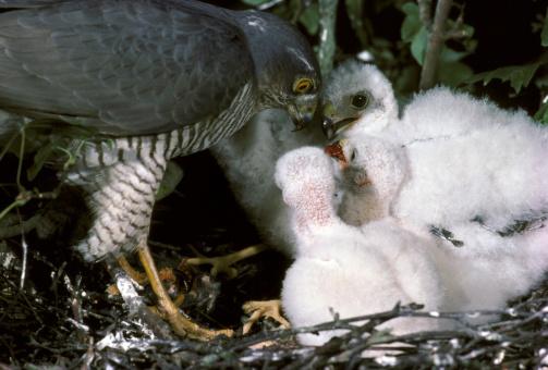Hawk - Bird「sparrow hawk accipiter nisus female southern england」:スマホ壁紙(5)