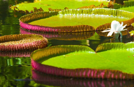 Water Lily「Waterlily pads, Pamplemousses gardens, Mauritius」:スマホ壁紙(9)
