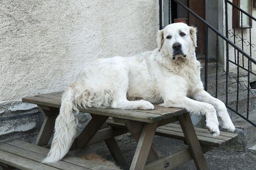Nouvelle-Aquitaine「Grand Pyrenees dog」:スマホ壁紙(18)