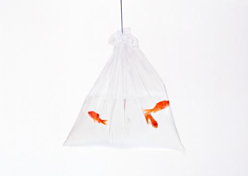 お祭り「Goldfish」:スマホ壁紙(4)