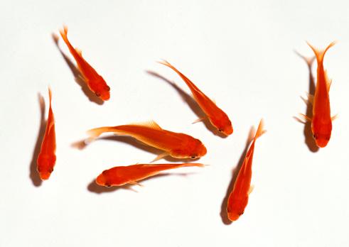 Annual Event「Goldfish」:スマホ壁紙(16)