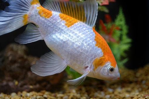 Carp「Goldfish (Carassius Auratus).」:スマホ壁紙(14)