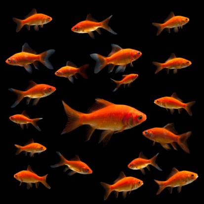 金魚「Goldfish」:スマホ壁紙(12)