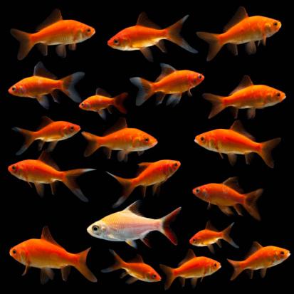 金魚「Goldfish」:スマホ壁紙(16)
