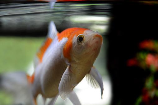 Carp「Goldfish  (Caurassius Auratus).」:スマホ壁紙(9)