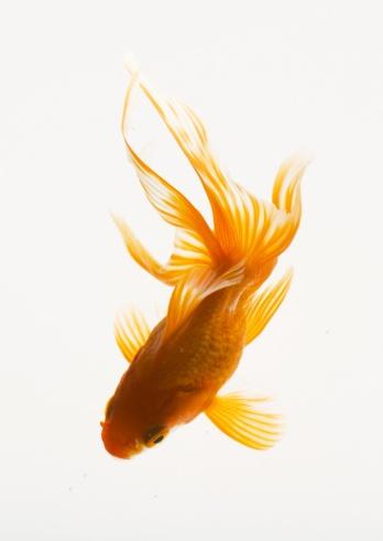 金魚「Goldfish」:スマホ壁紙(8)