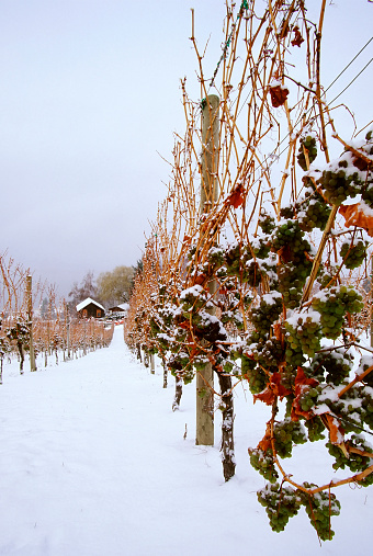 Grape「Snowy vineyard in the ice wine region of Okanagan valley」:スマホ壁紙(3)