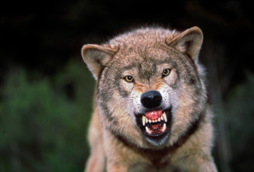 Furious「Grey wolf growling」:スマホ壁紙(5)