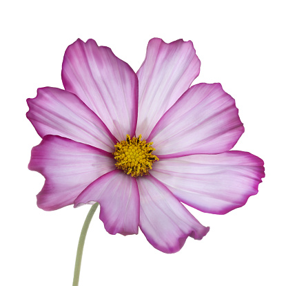 Cosmos Flower「Pink & white cosmos flower with stem in white square.」:スマホ壁紙(11)