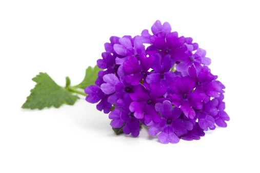 Vervain「Purple Verbena Flower and Leaves on White」:スマホ壁紙(8)