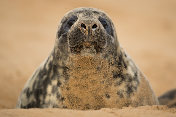 動物「Seal Pups Thrive At The Donna Nook Reserve」:写真・画像(1)[壁紙.com]