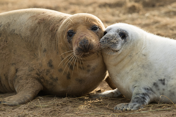 動物「Seal Pups Thrive At The Donna Nook Reserve」:写真・画像(3)[壁紙.com]