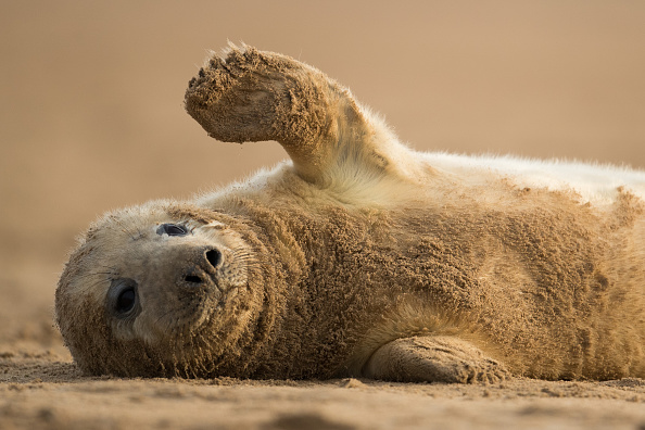 動物「Seal Pups Thrive At The Donna Nook Reserve」:写真・画像(10)[壁紙.com]