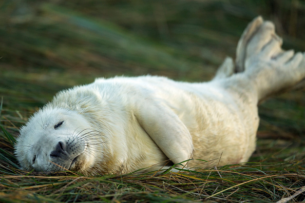 動物「Seal Pup Season Continues At Donna Nook Reserve」:写真・画像(12)[壁紙.com]