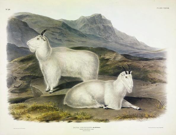 Limb - Body Part「Rocky Mountain Goat」:写真・画像(2)[壁紙.com]