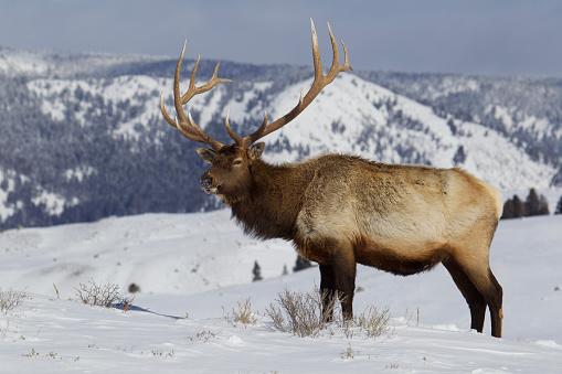 Full Length「Rocky Mountain Elk bull on snow, Wyoming, USA」:スマホ壁紙(4)