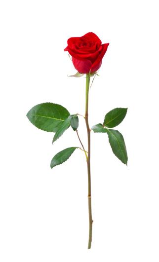薔薇「赤いバラ(XL」:スマホ壁紙(5)