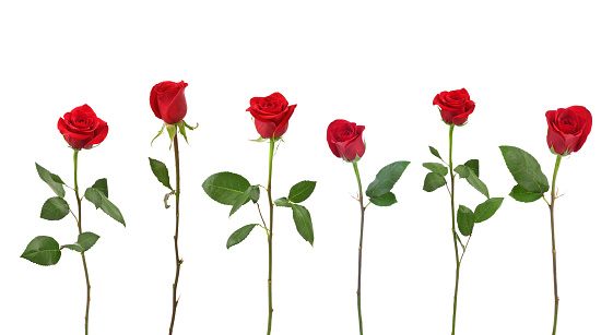 Clipping Path「Red Roses (XXL)」:スマホ壁紙(10)