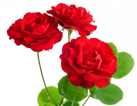 薔薇「赤いバラ」:スマホ壁紙(1)